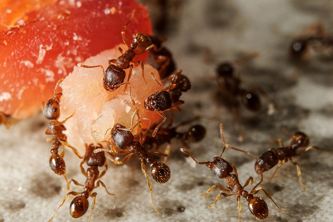 Communicate group of ants on piece of meat. Cooperation on the ground.