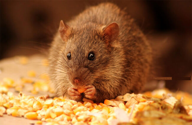 Dịch vụ diệt chuột tận gốc - Diệt mối Thành Công